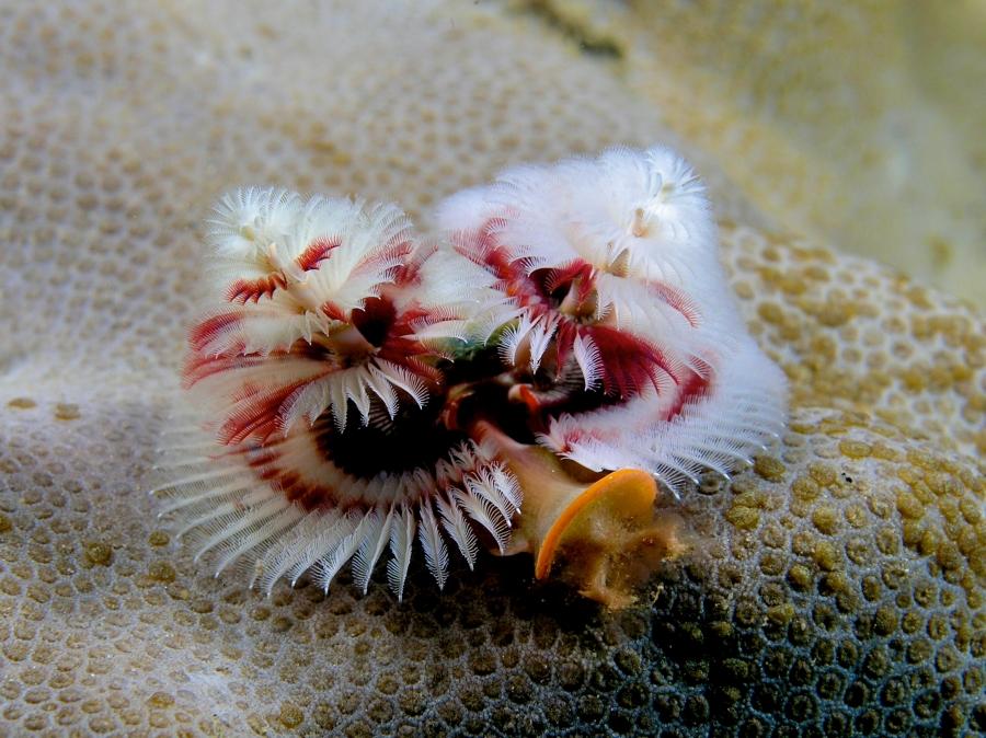 Spirobranchus_giganteus_(Red_and_white_christmas_tree_worm).jpg